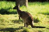 L'Ile Kangourou en Australie
