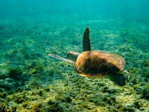 Les tortues marines de Madagascar