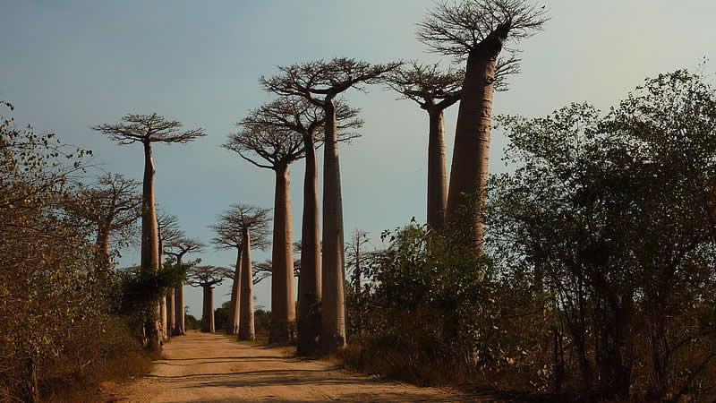 Baobab_Avenue